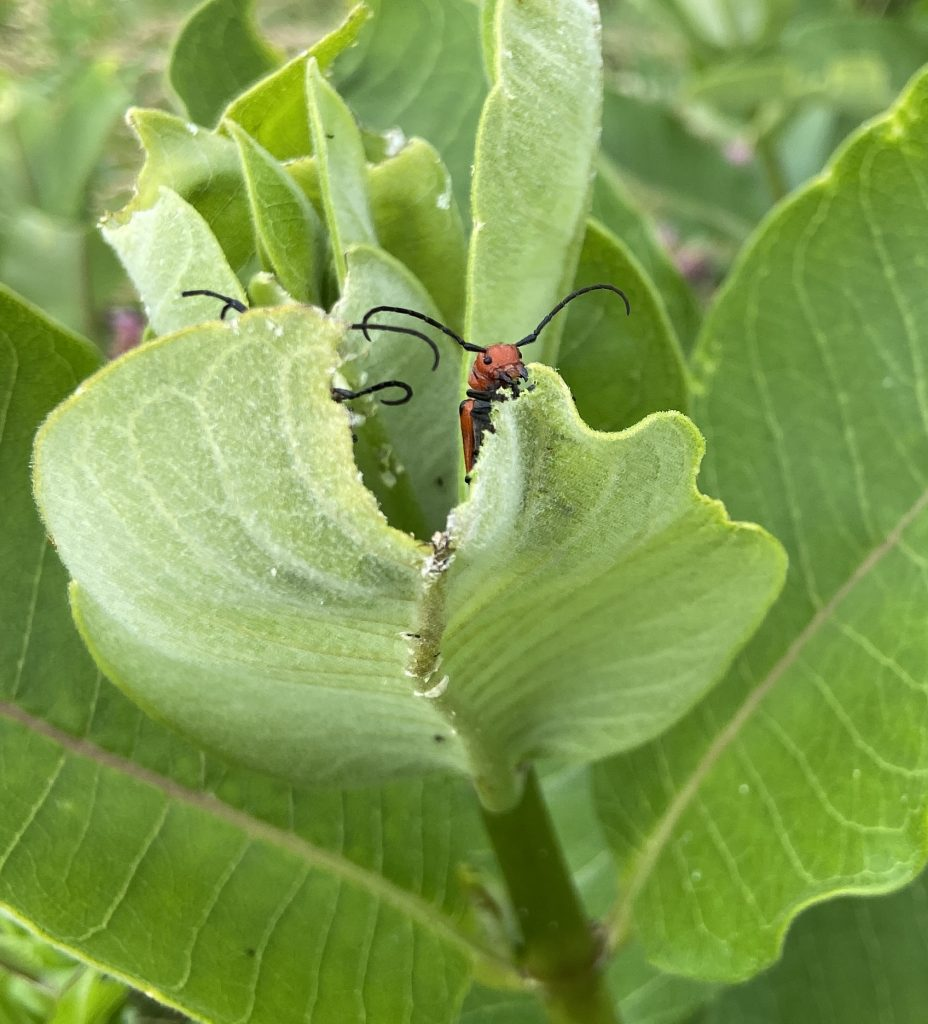 Orange bug chomping on a green leaf.