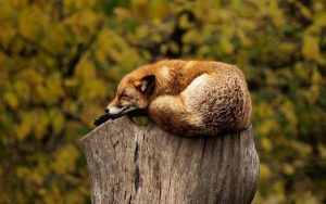 fox curled up and resting on a tree stump